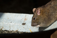 Rattus rattus. A house rat (Rattus rattus) is eating seeds from a bin Stock Images