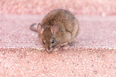 Rattus rattus. A rat sitting on stairs at Karni Mata temple in India Royalty Free Stock Photos
