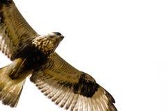 Rau-Mit Beinen versehener Falke auf weißem Hintergrund Stockfotografie