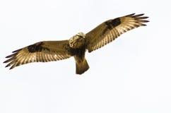 Rau-Mit Beinen versehener Falke auf weißem Hintergrund Stockfotos