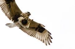 Rau-Mit Beinen versehener Falke auf weißem Hintergrund Lizenzfreies Stockfoto