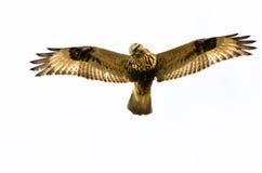 Rau-Mit Beinen versehener Falke auf weißem Hintergrund Lizenzfreie Stockfotos