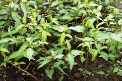 Rau ram, Vietnamese coriander Royalty Free Stock Photo