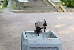 Rauben Sie den Vogel, der auf dem Rand und den Blicken in den Abfalleimer sitzt Stockfotos