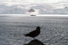 Raubmöwe und Schiff in der Antarktis Stockfotografie