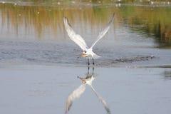 Raubseeschwalbe (Sterna caspia) Lizenzfreie Stockbilder
