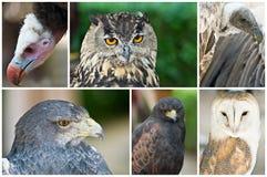 Raubvögel. Stockbilder