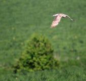 Raubvogel über dem Feld Lizenzfreie Stockbilder