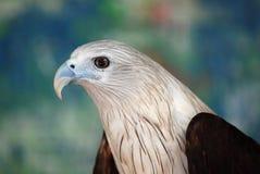 Raubvogel Lizenzfreie Stockfotografie