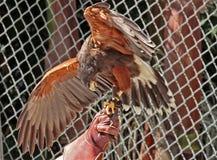 raubvogel Stockbilder