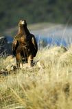 Raubvogel Aguila real Lizenzfreies Stockfoto