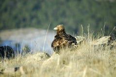 Raubvogel Aguila real Stockfotos