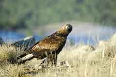 Raubvogel Aguila real in der Sierra De Avila Stockfotografie