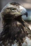 Raubvogel, braunes Gefieder des Adlers und spitzer Schnabel Stockfotografie