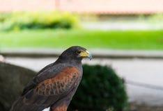 Raubvogel des goldenen Adlers Lizenzfreies Stockfoto