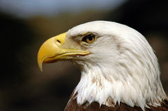 Raubvogel des kahlen Adlers Stockfotografie