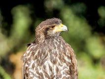 Raubvogel die Nahaufnahmejagd und suchen Lebensmittel im Wald Stockbild