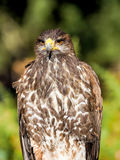 Raubvogel die Nahaufnahmejagd und suchen Lebensmittel im Wald Stockfoto
