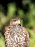Raubvogel die Nahaufnahmejagd und suchen Lebensmittel im Wald Lizenzfreie Stockfotos