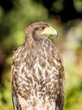 Raubvogel die Nahaufnahmejagd und suchen Lebensmittel im Wald Stockbilder