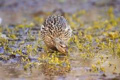 Raubvogel die weibliche Ente in der Decksaison, die nach Lebensmittel im Gras in der Ufergegend sucht Stockbild