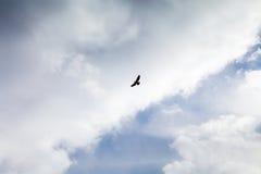 Raubvogel fliegt in den bewölkten Himmel Lizenzfreie Stockbilder