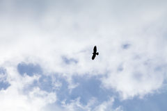 Raubvogel fliegt in den bewölkten Himmel Lizenzfreie Stockfotografie
