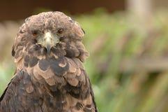 Raubvogel gekräuselte Federn Stockfotografie