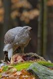 Raubvogel Hühnerhabicht, Accipiter gentilis, Fütterungstötungshasen im Wald Stockbild