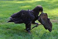 Raubvogel mit dem Handschuh Lizenzfreie Stockfotografie