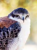 Raubvogel Nahaufnahmeschuß im Freien mit unscharfem Hintergrund Stockbild