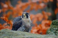 Raubvogel Peregrine Falcon sitzend auf dem Stein mit orange Herbstwald im Hintergrund Stockbilder