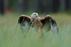Raubvogel roten Drachen, Milvus-milvus, landend im grünen Sumpfgras, mit offener Spannweite, Wald im Hintergrund Lizenzfreies Stockfoto