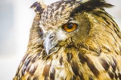 Raubvogel, schöne Eule mit intensiven Augen und schönes Gefieder Stockfoto