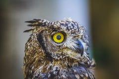 Raubvogel, schöne Eule mit intensiven Augen und schönes Gefieder Stockfotografie