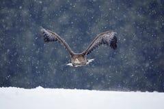 Raubvogel Seeadler, Haliaeetus albicilla, fliegend mit Schneeflocke, dunkler Wald im Hintergrund Eagle mit Schneeflocke Wi Lizenzfreie Stockfotografie