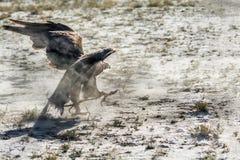 Raubvogel, Steinadler nach Opfer auf dem Boden Stockbilder