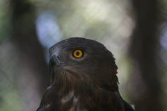 Raubvogelnahaufnahme lizenzfreies stockbild