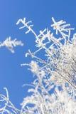 Rauch-Baum Niederlassungen mit Frost auf Hintergrund des blauen Himmels Stockfotos