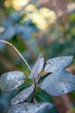 Rauch-Bush-Blätter Stockfotos
