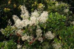 Rauchbaumblühen Stockbilder