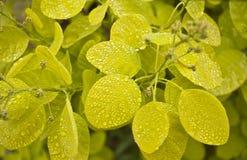 Rauchbusch - Cotinus coggygria mit Wassertropfen lizenzfreies stockfoto
