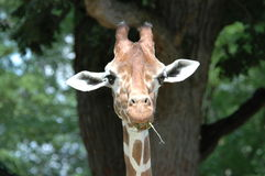 Rauchende Giraffe Lizenzfreie Stockfotos