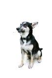 Rauchender Hund über Weiß Stockfotografie