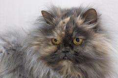 Rauchige Blicke der persischen Katze Farbin den Kameraabschluß oben Stockbild