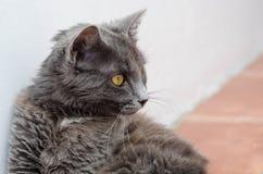 Rauchige Katze Lizenzfreie Stockfotografie