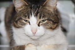 Rauchiges Schnurren der schönen grauen Katze Farb stockbild