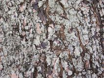 Raue alte Baumrindenahaufnahme-Fotobeschaffenheit Rustikale Baumstammnahaufnahme Stockbilder