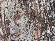 Raue alte Baumrindenahaufnahme-Fotobeschaffenheit Rustikale Baumstammnahaufnahme Lizenzfreies Stockbild