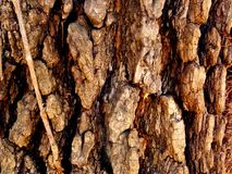 Raue gebürtige Missouri-Baumrinde Stockbilder